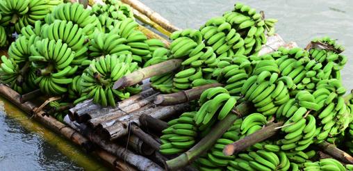 508x246-bananas